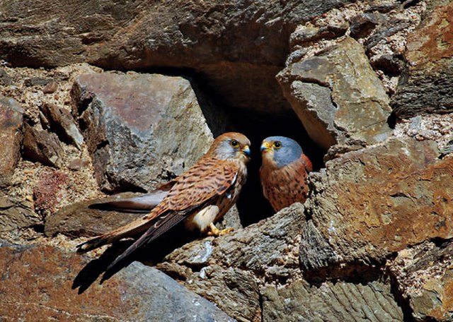 La Serena - Cernícalo Primilla - Foto: birdingextremadura.com