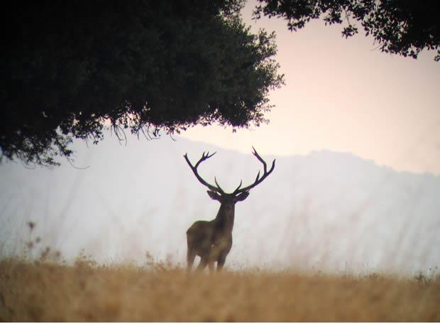 ciervo-berrea